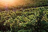 Les vignes et vignobles